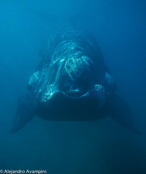 Wal unter Wasser in Puerto Piramides