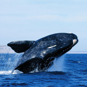 Peninsula Valdes - Right Whale - Features and Curiosities