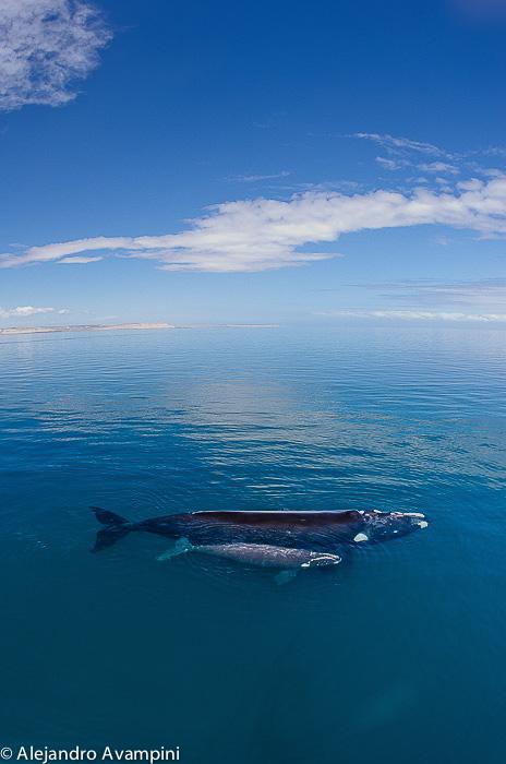 Whale Watching Puerto Piramides Valdes Peninsula
