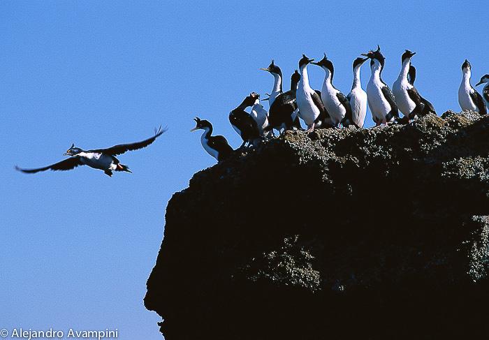 Cormoranes en Puerto Piramides - Peninsula Valdes