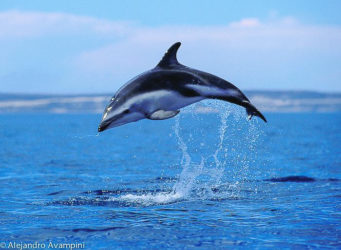 Delfin saltando en Puerto Piramides
