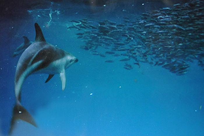 Dolphin feeding Valdes Peninsula