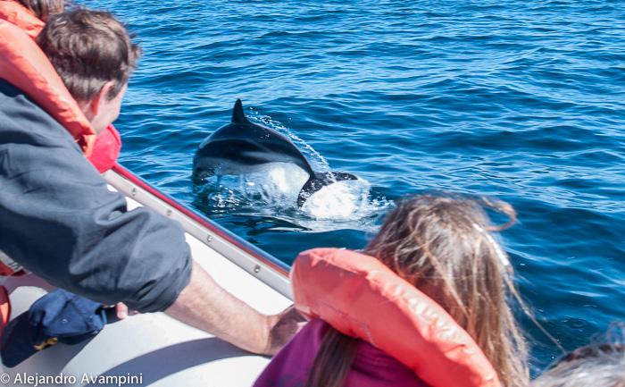 Dolphin feeding Valdes Peninsula - Argentine Patagonia