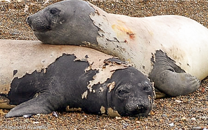 elephant seal - Valdes Peninsula Argentine Patagonia