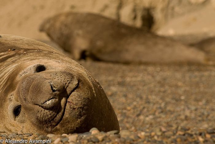 Elephant seals in Peninsula Valdes