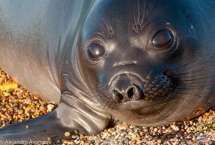 elephant seal peninsula valdes