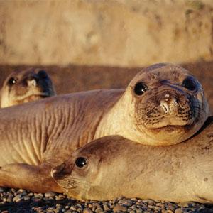 Elephant seals - Península Valdes - Argentine Patagonia