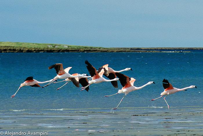 Flamencos en Isla de los Pajaros, Peninsula Valdes