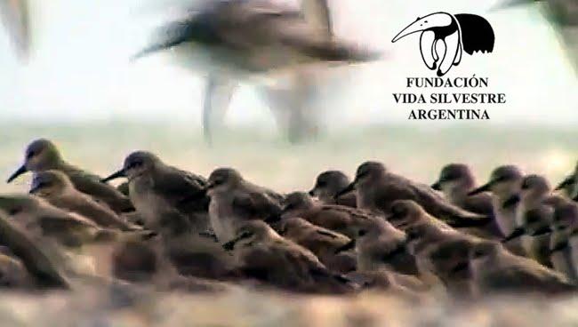 Playero Rojiso Humedales Rasmar Peninsula Valdes Patagonia Argentina