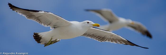 Gaviotas volando en las aguas de Península Valdés