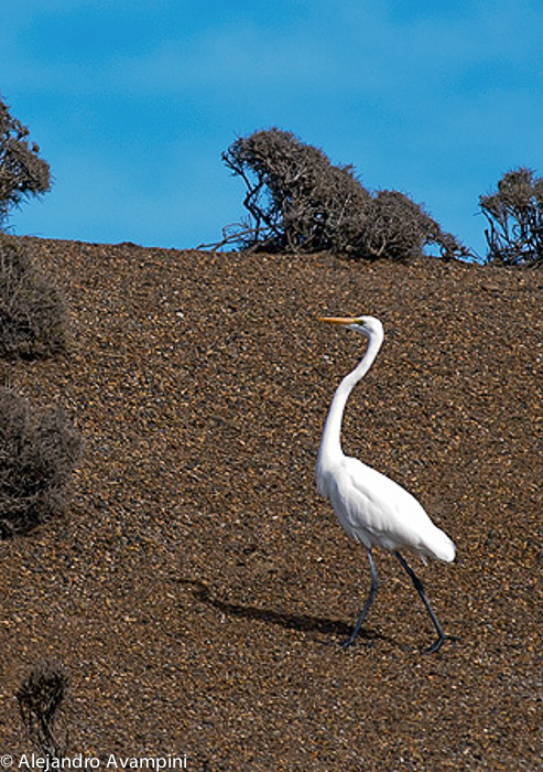 GREAT EGRET - Peninsula Valdes -