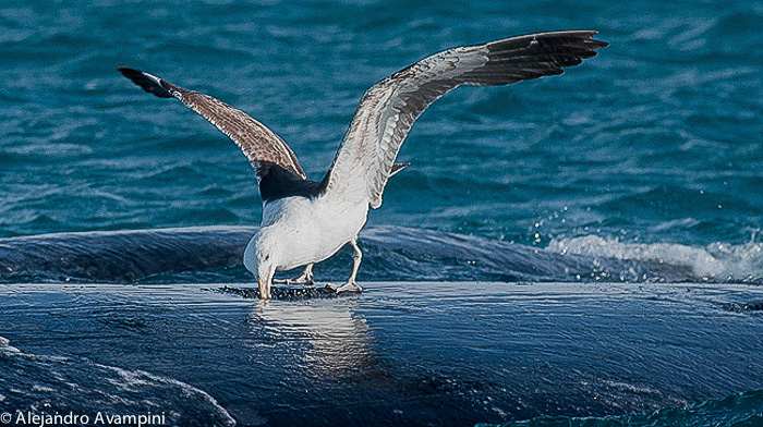 Gaivota ataca baleia em Península Valdes