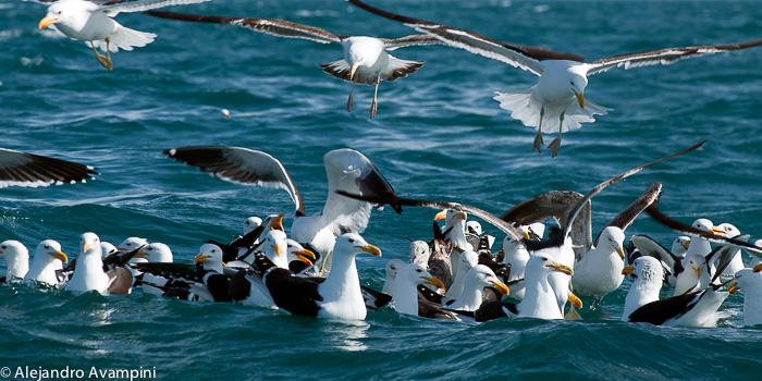 Gaivotas vuando perto das baleias em Península Valdes