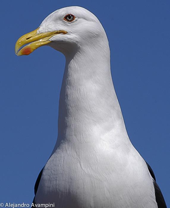 Seagull peninsula valdes