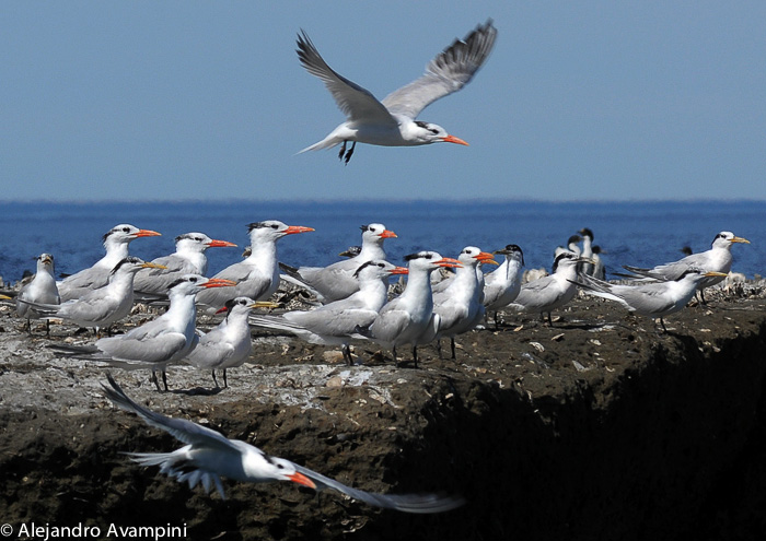 Naturschutzgebiet - Punta Piramide Halbinsel Valdes Vogel