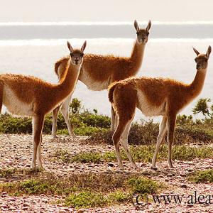 El Guanaco, en Península Valdés y Patagonia