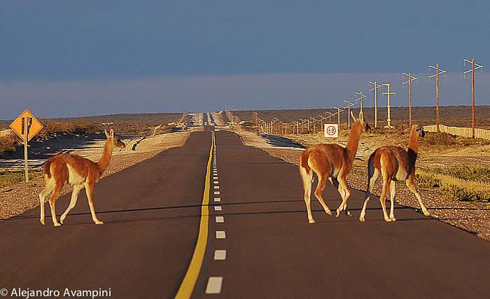 guanacos_road_valdes_