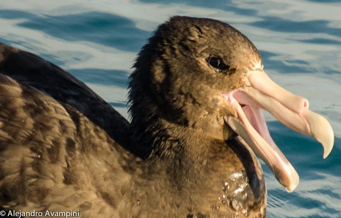 Petrel Gigante en Isla de los pájaros- Península Valdes