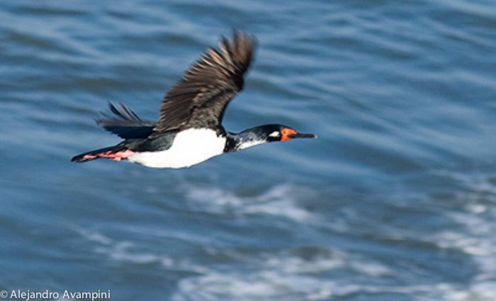 cormoran Roquero peninsula valdes