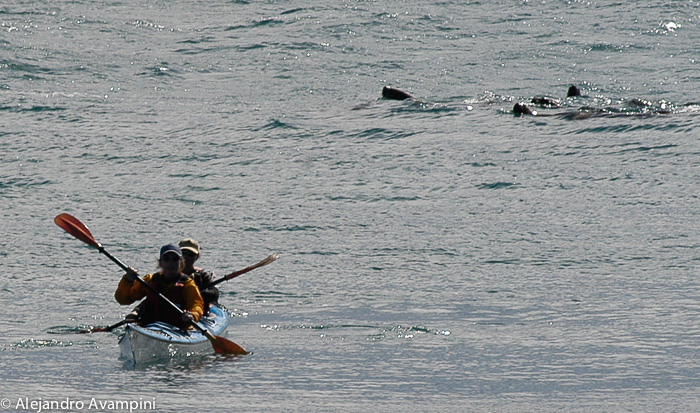 Expeditions Kayaks, with sea lions in Valdes Peninsula
