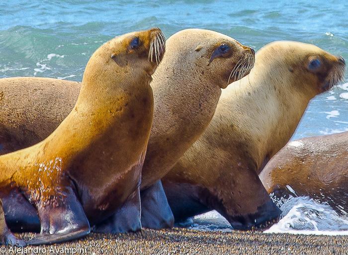 Lobas marinas caminando por la rompiente en Punta Norte - Península Valdes