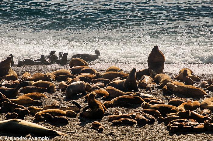 Loberia en Punta Norte - Lobos marinos en temporada de reproducción y cría