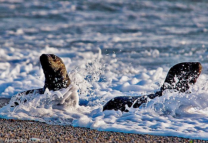 Lobitos marinos en la rompiente en Punta Norte - Península Valdés