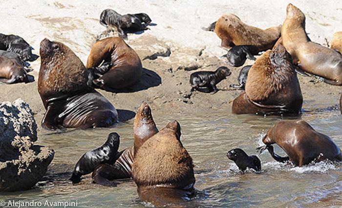 Lobitos marinos por entre los machos en la lobería de Punta Piramide