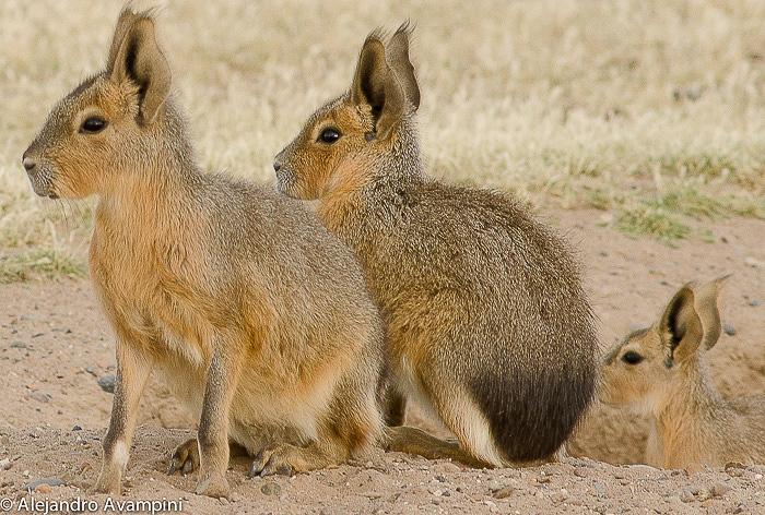 Crias de Maras en Peninsula Valdes -