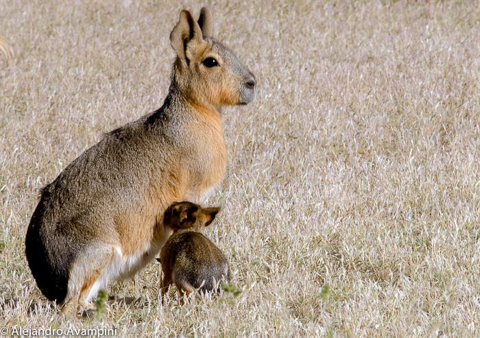 Mara Patagonica amamantando a su cria en Peninsula Valdes