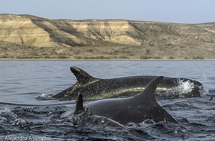 Killer Whale in Península Valdes