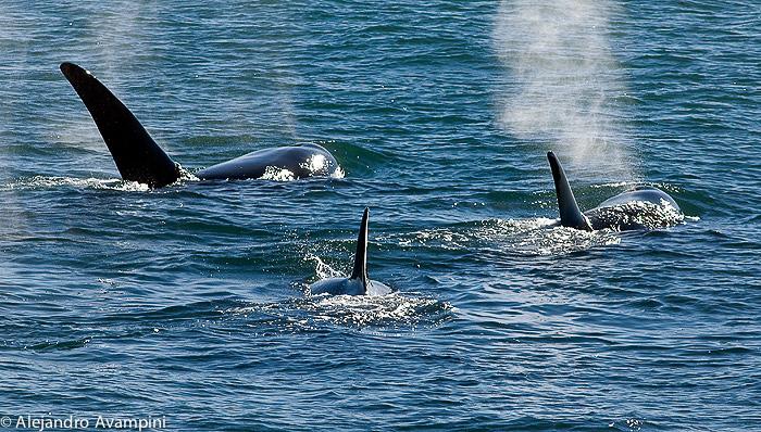 Orca Punta Norte Peninsula Valdes - Patagonia Argentina