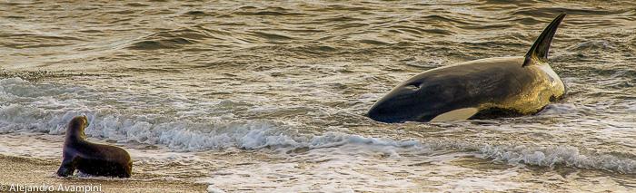 Orca attack Punta Norte - Peninsula Valdes