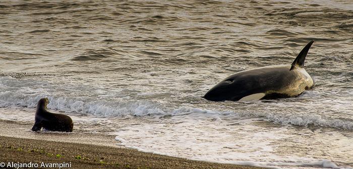 Orcas en Punta Norte - Península Valdés