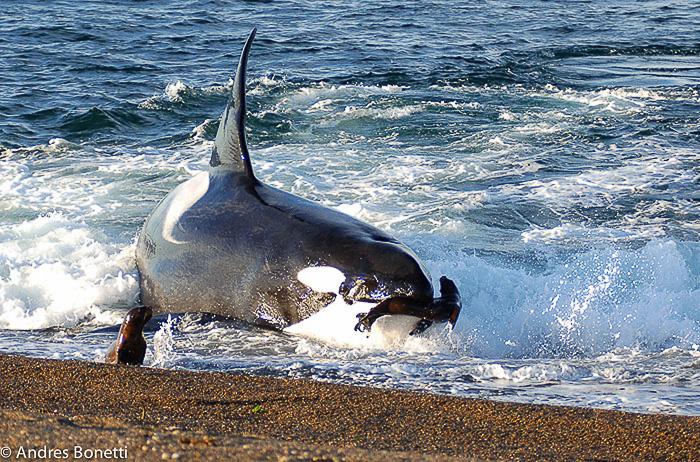 Orca Mel en Punta Norte - Península Valdes