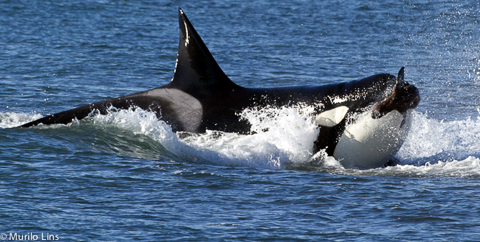 Orca Attack in Punta Norte - Peninsula Valdes