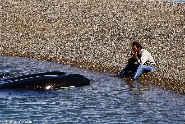 Orka harmonische Bubas ranger het schiereiland Valdes