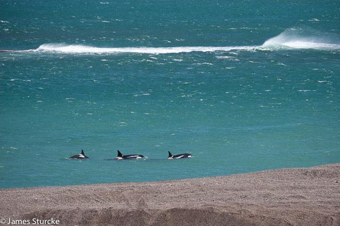 Orcas Caleta Valdes - Argentine Patagonia
