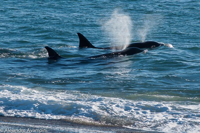 orcas season in valdes peninsula
