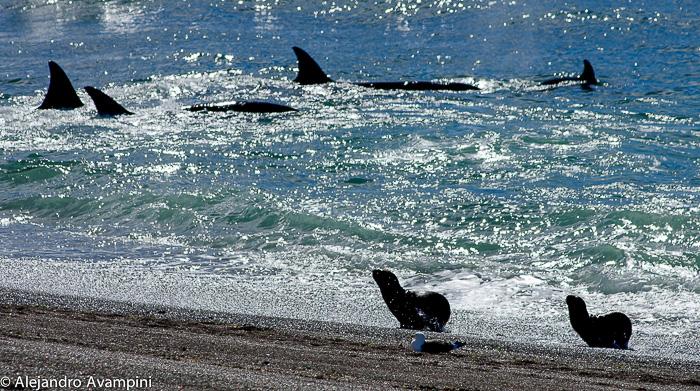 Orcas familia ataca en Punta Norte - Peninsula Valdes