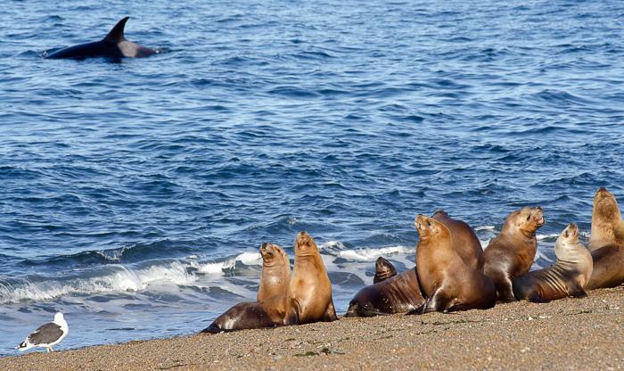 Ocas o ballenas asesinas atacan en Peninsula Valdes