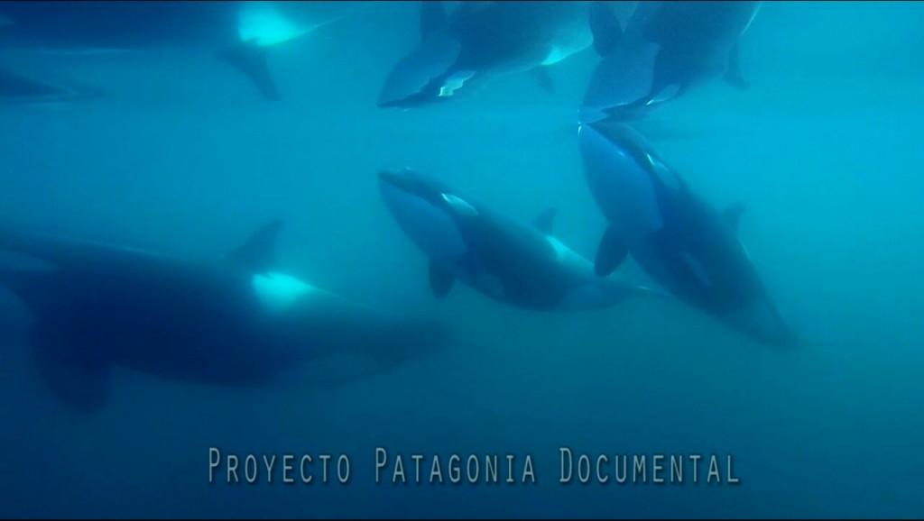 orcas_nadando