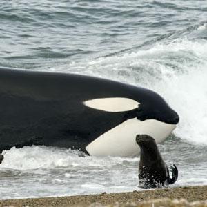 orcas season in valdes peninsula argentine patagonia