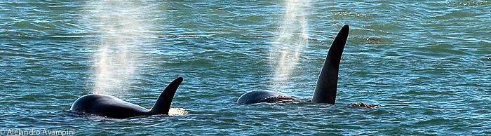 Orcas season Peninsula Valdes