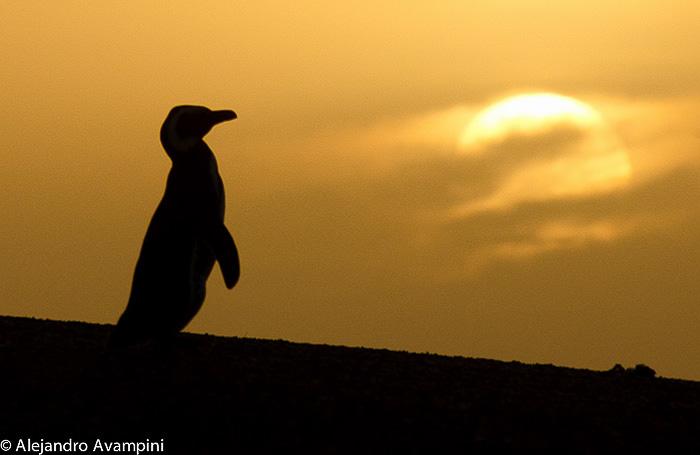 Pingüino contraluz en Península Valdes