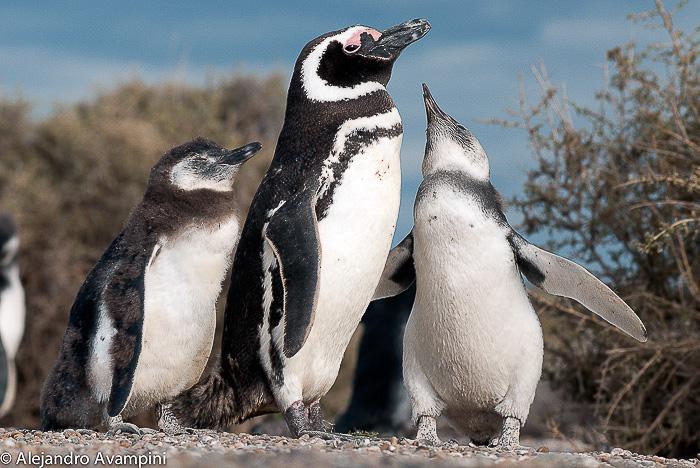 Pingüino y las crias pidiendo por alimento - Península Valdés