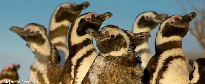Pingüinos de magallanes - Península Valdés