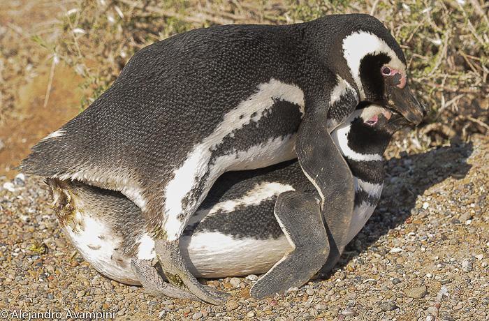 copula de Pinguinos en Peninsula Valdes