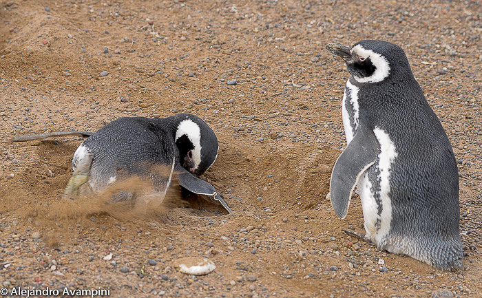 penguin nest in Punta tombo