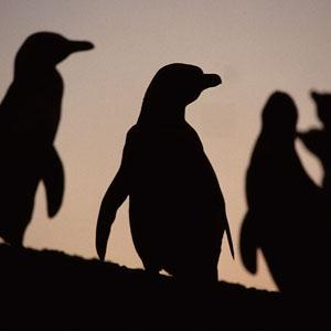 Magallanic Penguin Península Valdés Punta Tombo